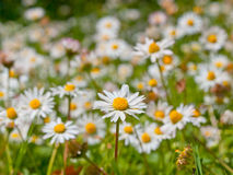 A field of daisy Stock Images