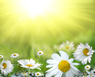 Field of daisy. Many beautiful spring flowers in the garden Royalty Free Stock Photography