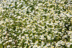 Field of daisy. Background of blossom flowers Royalty Free Stock Photos