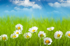 Field of daisy and blue sky Royalty Free Stock Photos