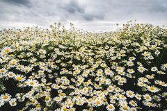 The field of daisy. Chamomile flowers growing outside.  stock photos