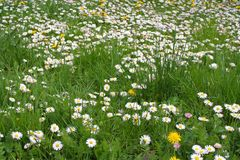 Field of daisy flower Stock Image