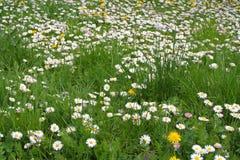 Field of daisy flower. Field of many daisy flower Stock Image