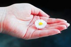 Field daisy flower in girl hand. Field daisy flower in the girl hand stock photo