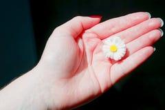 Field daisy flower in girls hand. Field daisy flower in the girls hand royalty free stock photo