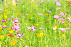 Field of daisy flowers Royalty Free Stock Photography