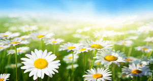 Field of daisy flowers Stock Images