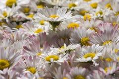 Field of daisy flowers Stock Image