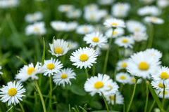 Field of daisy flowers Bellis perennis Royalty Free Stock Photos