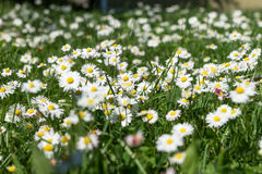 Field of daisy flowers Bellis perennis Royalty Free Stock Photography