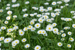 Field of daisy flowers Bellis perennis Stock Image