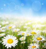 Field of daisy flowers Stock Photos