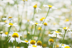 Field of daisy flowers Royalty Free Stock Images