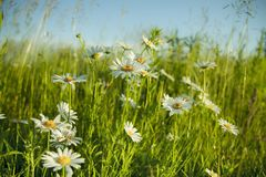 Field of daisy flowers. Chamomile in the field. White flowers and green meadow. stock photo