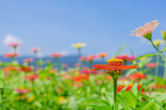 Field of daisy flowers colorful Royalty Free Stock Photography