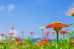Field of daisy flowers colorful.  Royalty Free Stock Photos
