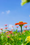 Field of daisy flowers colorful.  Stock Image