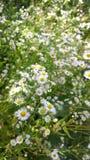 Field of daisy flowers Royalty Free Stock Photo