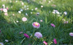 Field daisy flowers royalty free stock images