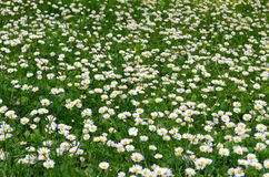 Field of daisy flowers. Flower meadow Royalty Free Stock Photos