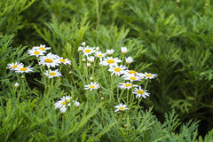 Field of daisy flowers Royalty Free Stock Image