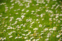 Field of daisy flowers Royalty Free Stock Photo