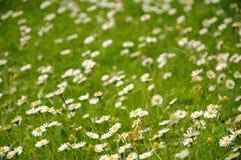Field of daisy flowers. Green field of daisy flowers Royalty Free Stock Photo