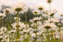 Field of daisy royalty free stock photos