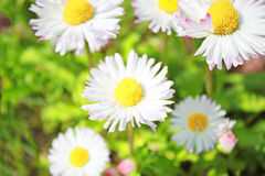 Field daisy flowers Stock Photo