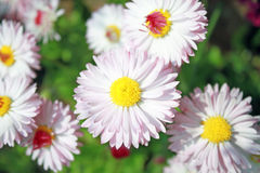 Field daisy flowers Stock Image