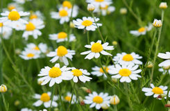 Field daisy flowers Royalty Free Stock Photo
