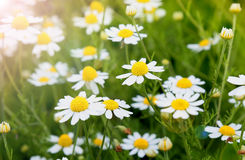 Field daisy flowers Royalty Free Stock Image