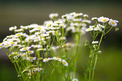 Field of daisy flowers Royalty Free Stock Photos