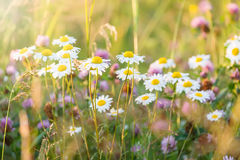 Field of daisy flowers wild camomile flowers in sunlight with selective focus. Royalty Free Stock Photo