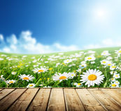 Field of daisy flowers Royalty Free Stock Photos