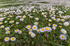 Field of daisy flowers (Bellis perennis) Royalty Free Stock Images