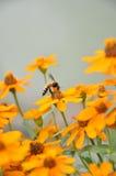 Field daisy flowers Stock Image