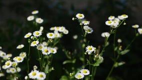 Field daisy stock video footage