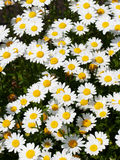 Field of daisy's Royalty Free Stock Photo