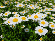 Field of daisy's Stock Photography