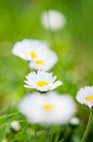 Field of daisyes Royalty Free Stock Image
