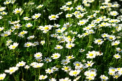 Field of daisys Royalty Free Stock Image