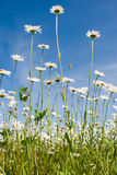 Field with daisywheel Royalty Free Stock Images