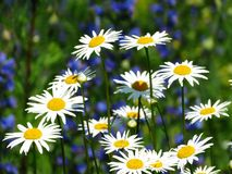 Field daisywheels Royalty Free Stock Images