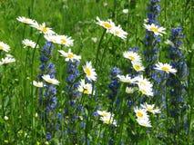 Field daisywheels Royalty Free Stock Photo