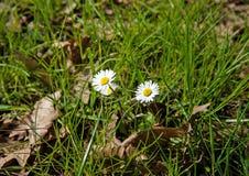 Field daisywheels Stock Photo
