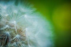 Field dandelion basking in the sun. Dandelion Plant Seeds White Field Macro Umbrella Background Flower Wind Summer stock image