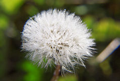 Field dandelion close-up. Royalty Free Stock Photo