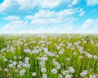 Field of dandelion flowers Stock Image