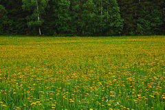 Field of dandelion flowers Royalty Free Stock Photography